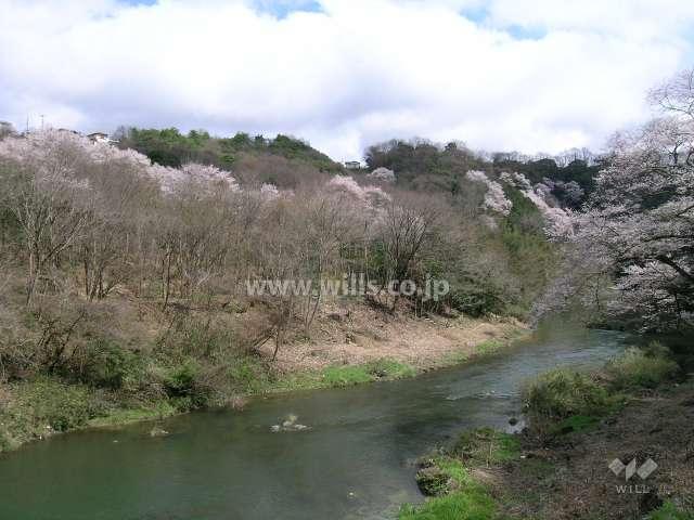 貴重な桜『エドヒガン』の群生地1