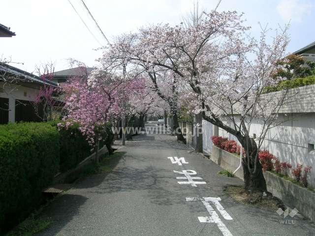 呉羽の里の桜並木(旭丘)3