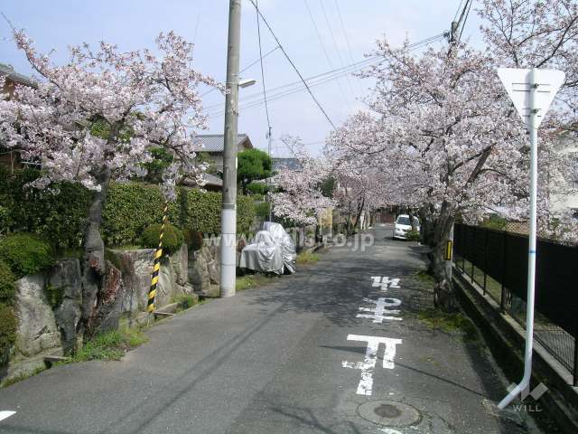 呉羽の里の桜並木(旭丘)4
