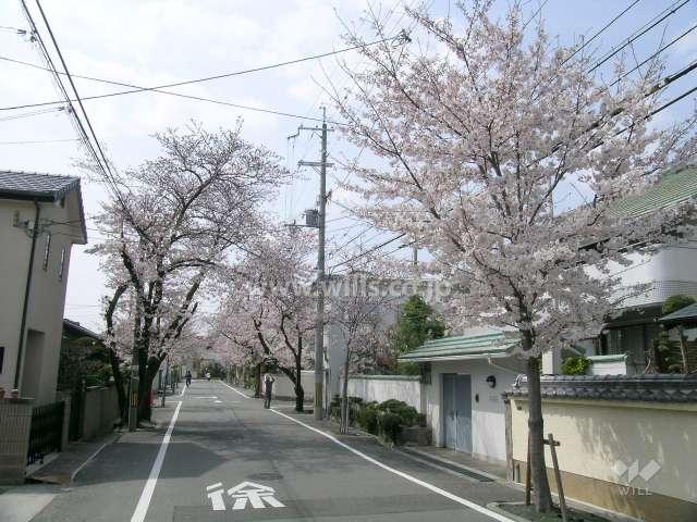 呉羽の里の桜並木(旭丘)5