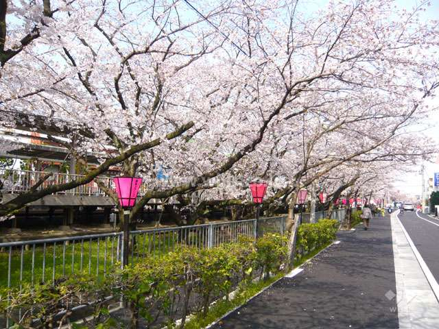「武庫之荘」駅前の桜並木1