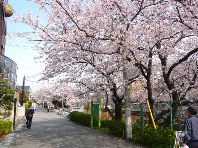 「武庫之荘」駅前の桜並木3