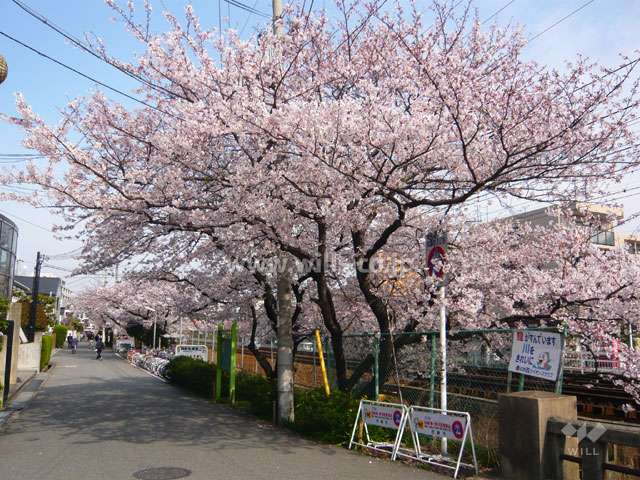 「武庫之荘」駅前の桜並木4