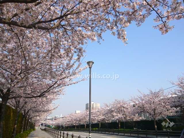 競馬場前の桜並木1