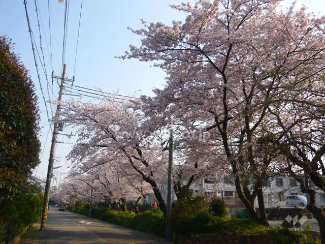 千種の桜並木1